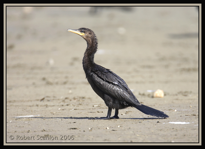 Neotropical-Cormorant.jpg