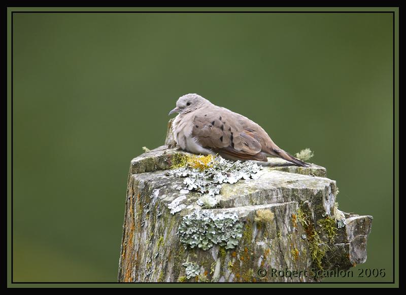 Ruddy-Ground-Dove.jpg