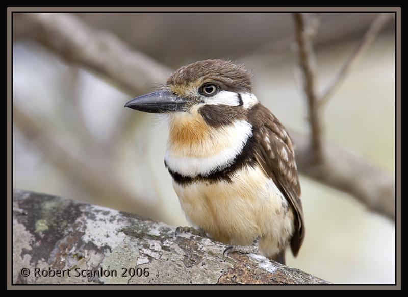 Russet-throated-Puffbird.jpg