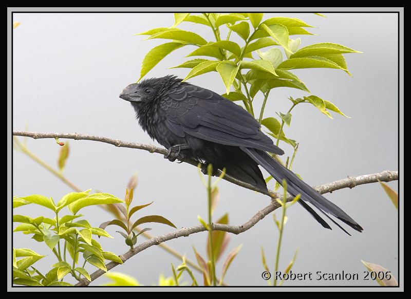 Smooth-billed-Ani.jpg