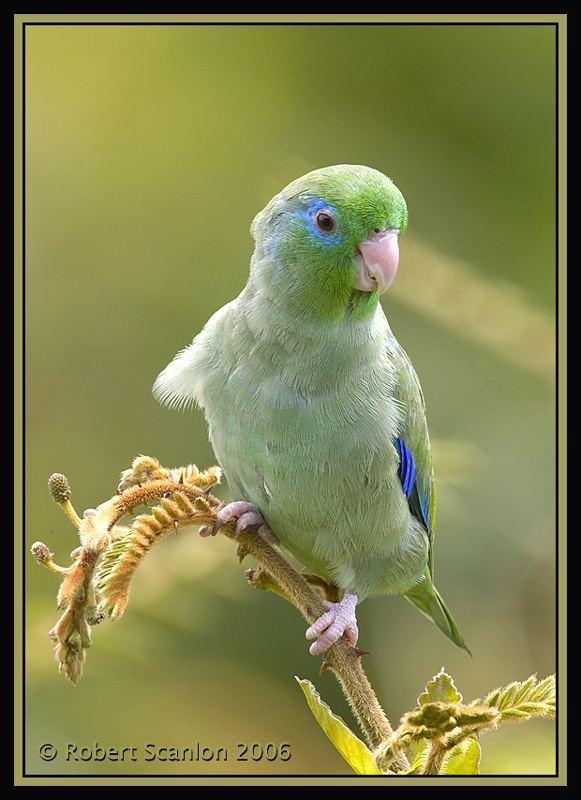 Spectacled-Parrotlet-5.jpg