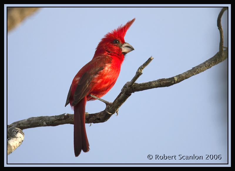 Vermillion-Cardinal-2.jpg