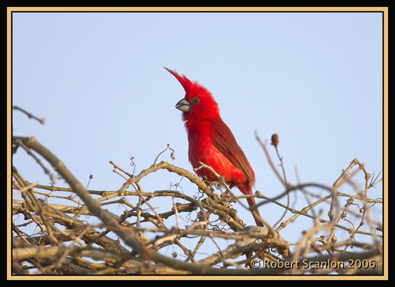 Vermillion-Cardinal.jpg