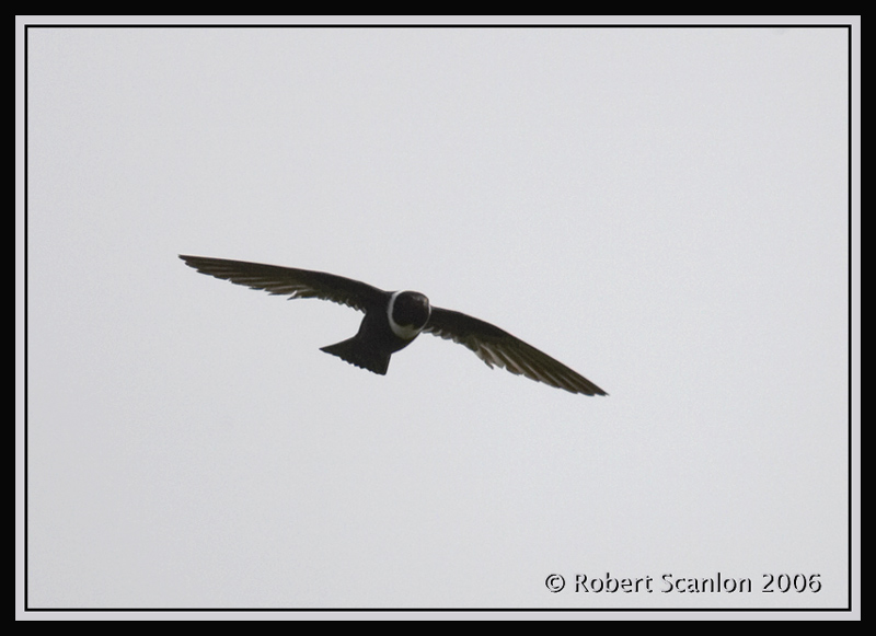 White-collared-Swift.jpg