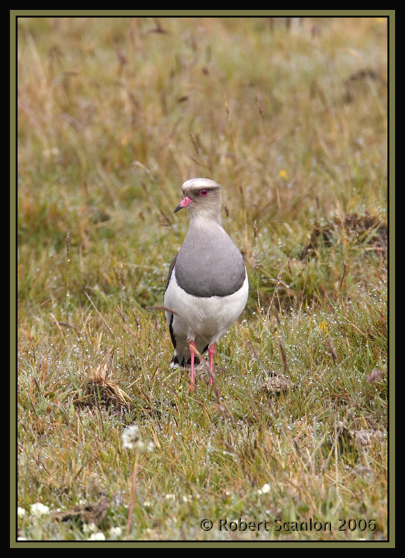 Andean-Lapwing-3.jpg