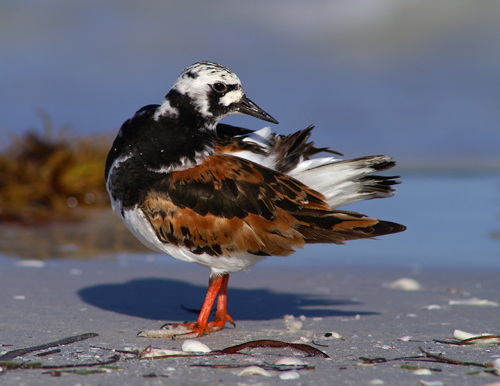 Full breeding plumage