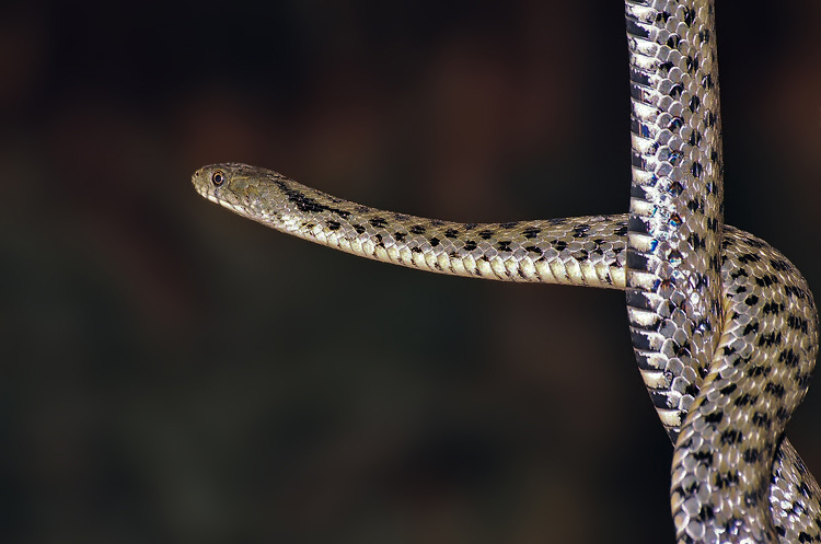 Grays Rat Snake.