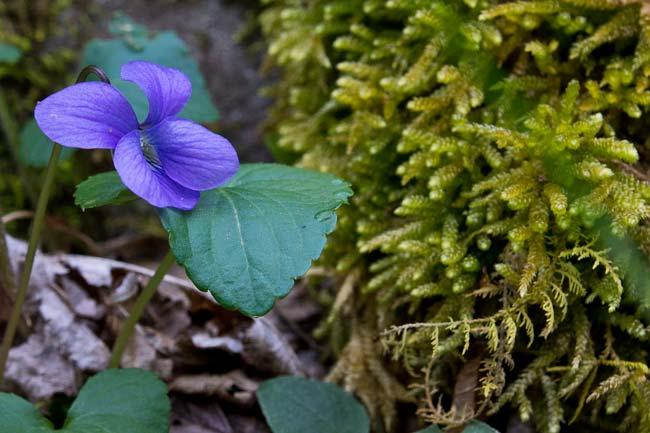 Purple Violet 3