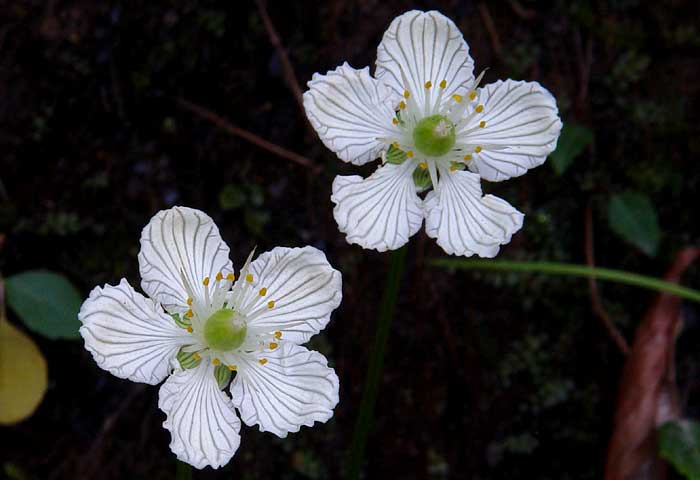 Grass of Parnassus 2