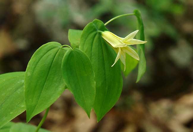 Perfoliate Bellwort 1