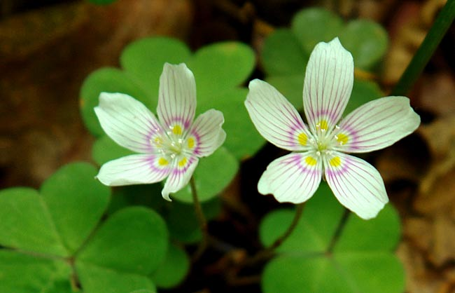 Mountain Wood Sorrel 1