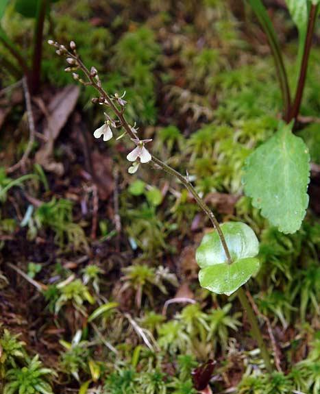 Kidneyleaf Twayblade Orchid