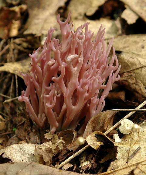 Coral Fungus 3