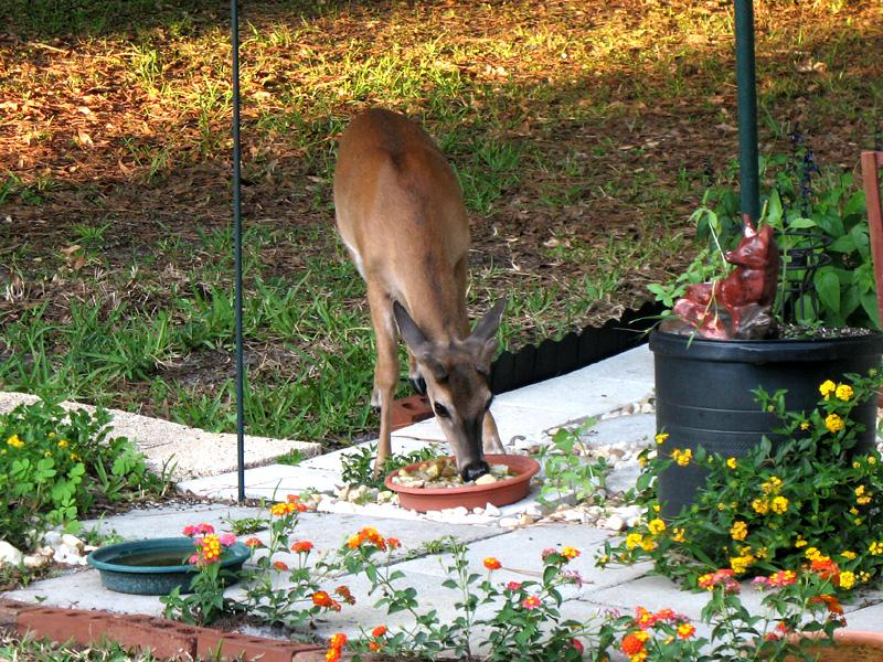 O.K. Little Buck... That water is for the butterflies!