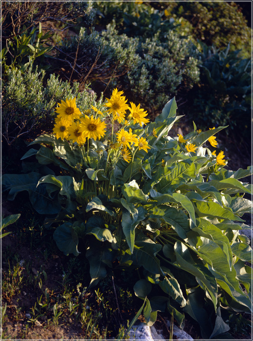 Flowers on Grand Teton slope