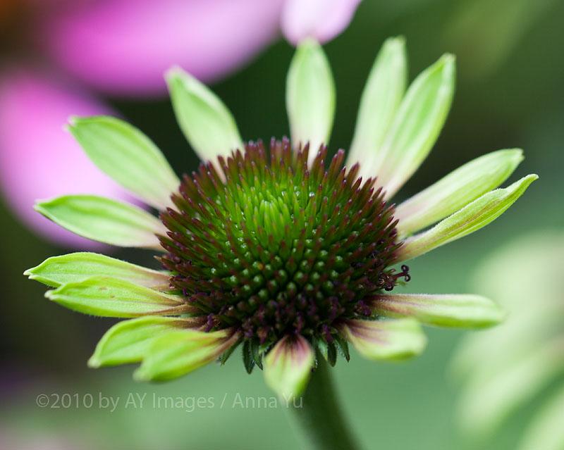 """Coneflower """"Green Envy"""" (Echinacea purpurea)"""