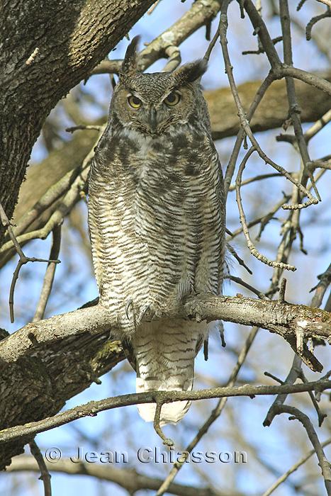Grand Duc dAmérique - Great Horned Owl