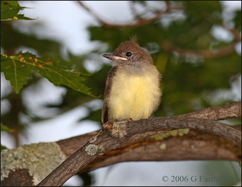 Baby Great Crested Flycatcher