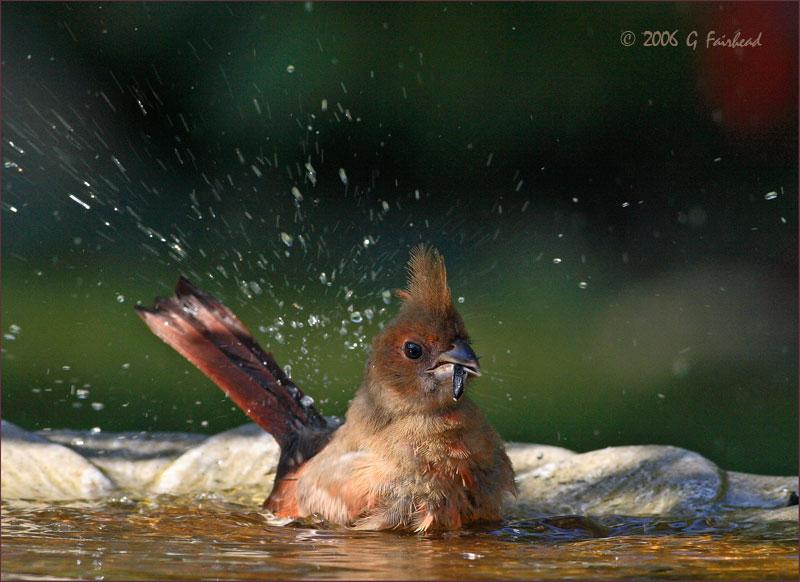 Baby Cardinal Eating and Bathing