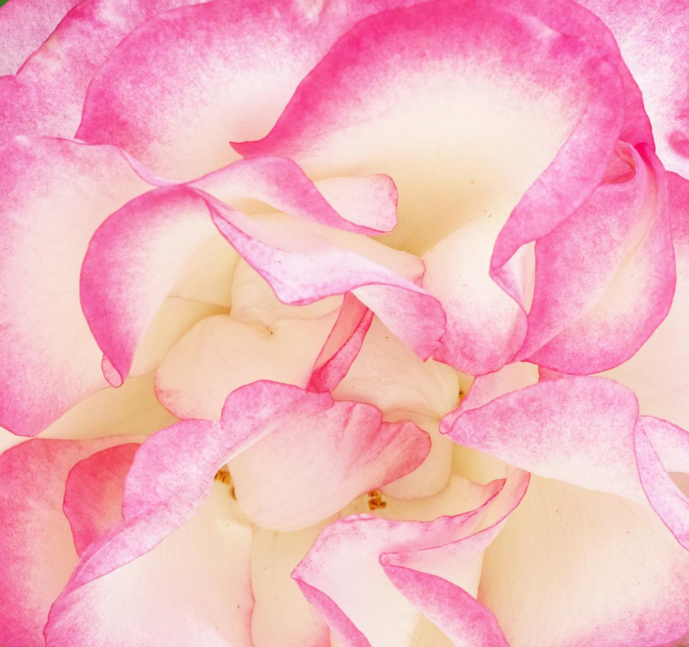 Rose Chaos
