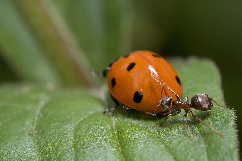 Ladybug, Aphids, and Ants - Part VII