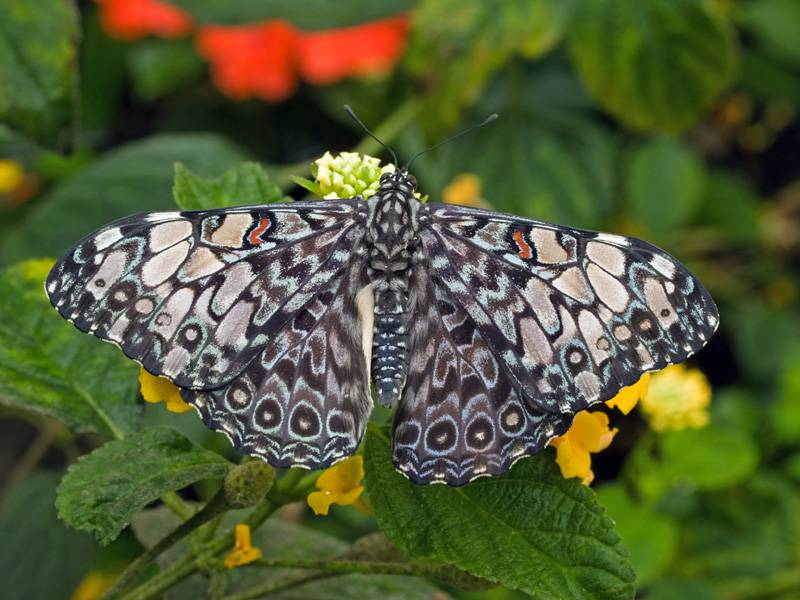 Gray Cracker Butterfly (Hamadryas februa)