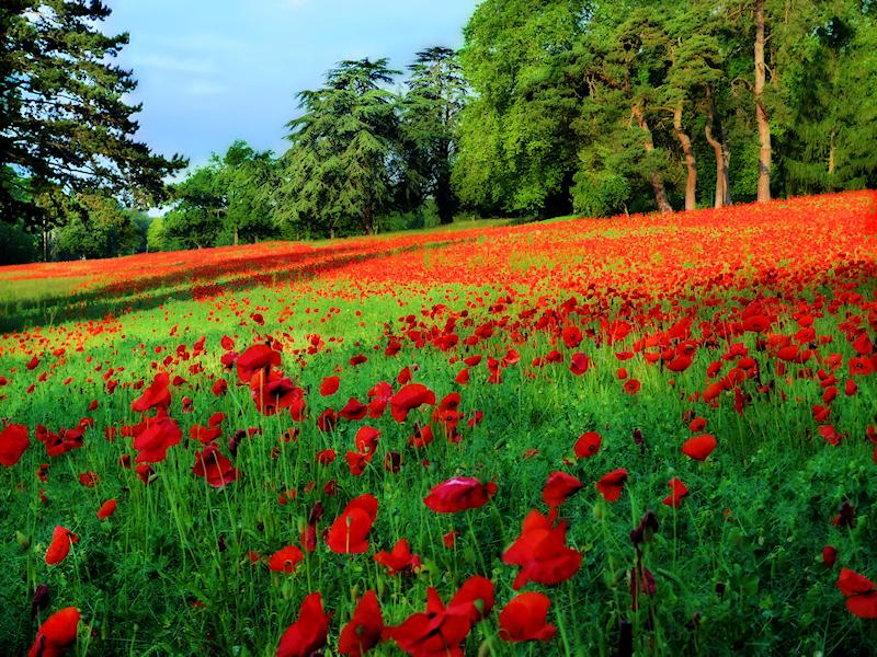 Poppies 12