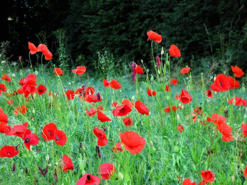 Poppies 17