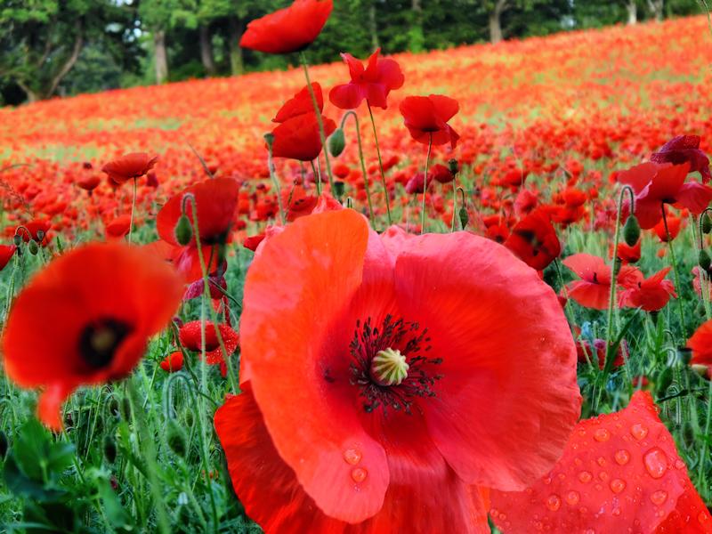Poppies 31