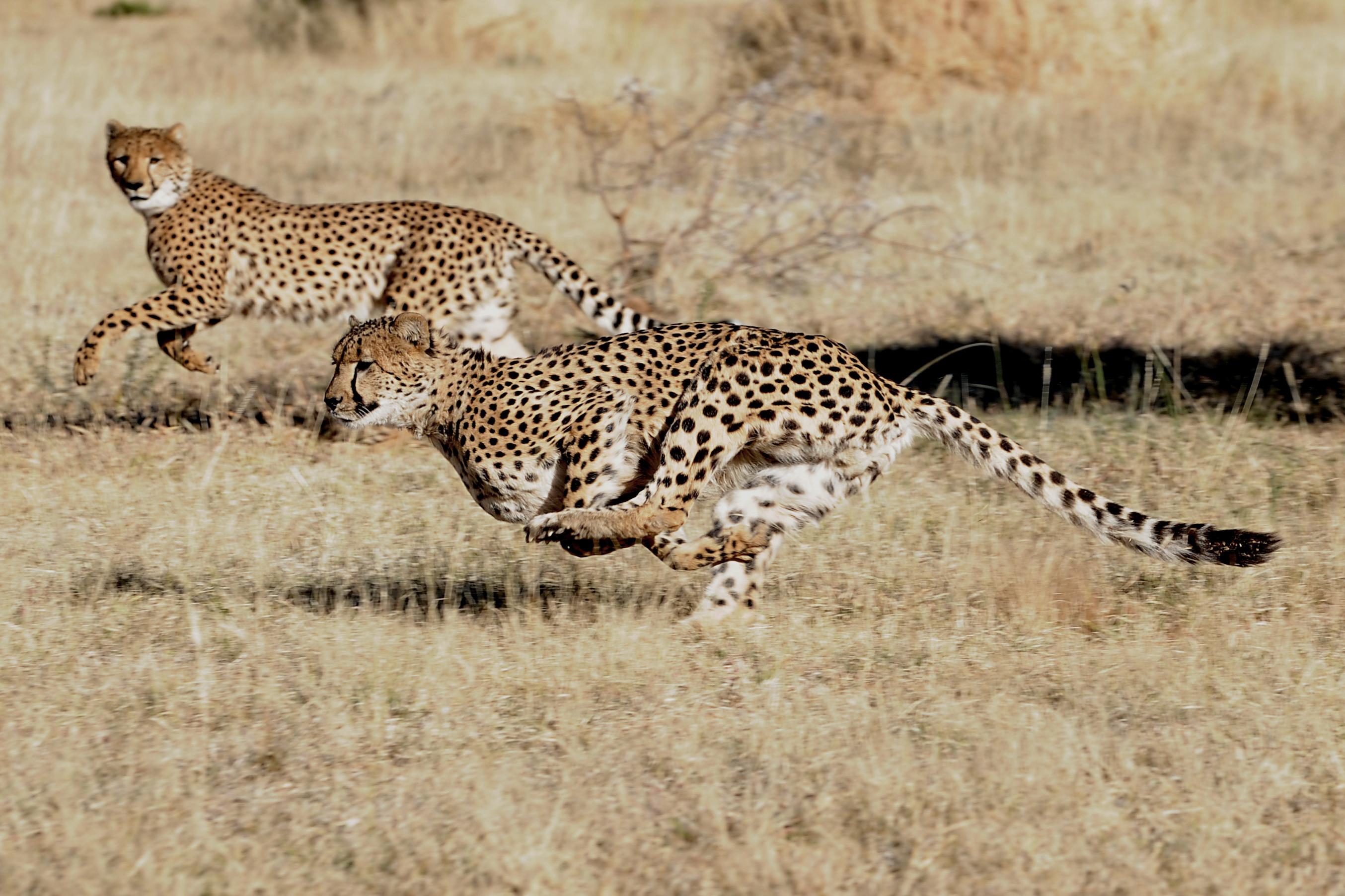 CheetahDuo.jpg