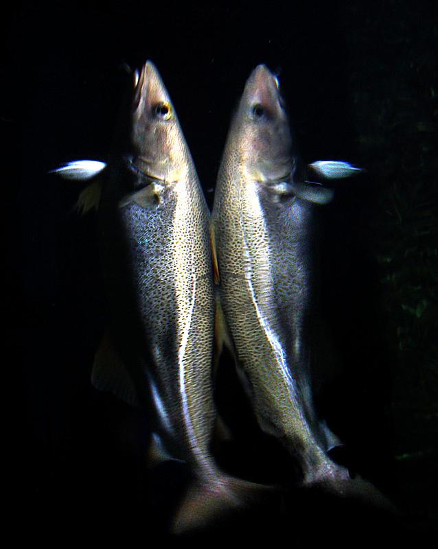 Siamois ou reflet