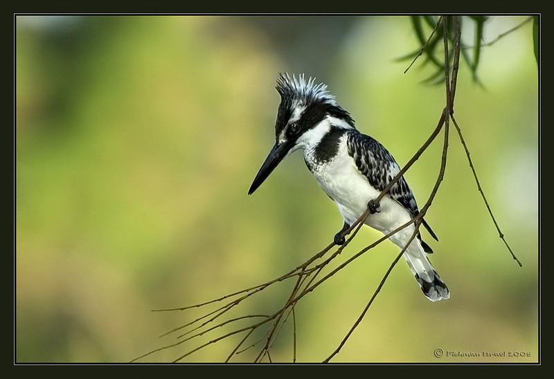 Pied kingfisher III.