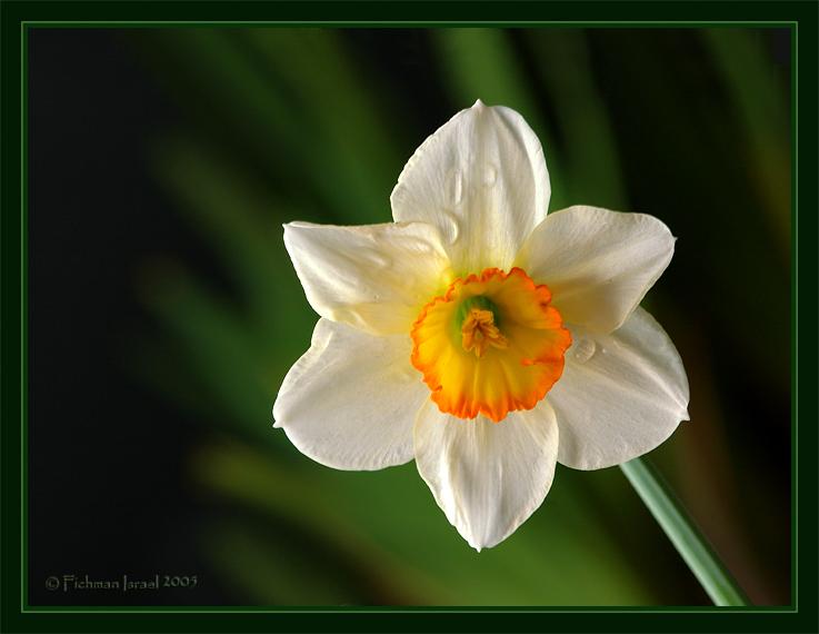 Daffodil. II