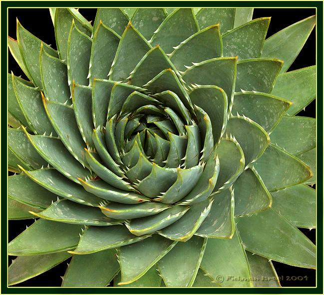 Aloe polyphylla.