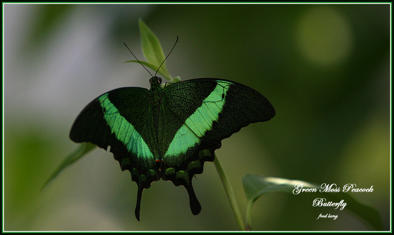 Butterfly - Green Moss Peacock