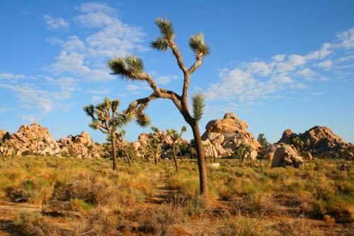 3697 Joshua Tree Close-up.jpg