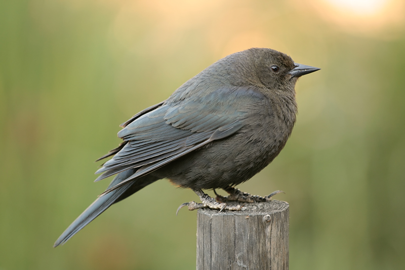 Brewers Blackbird (Female)