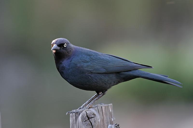 Brewers Blackbird (Male)