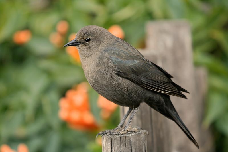 Brewers Blackbird (Female)