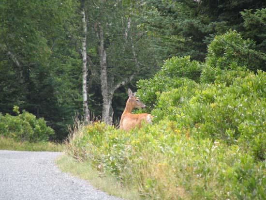 Island Deer