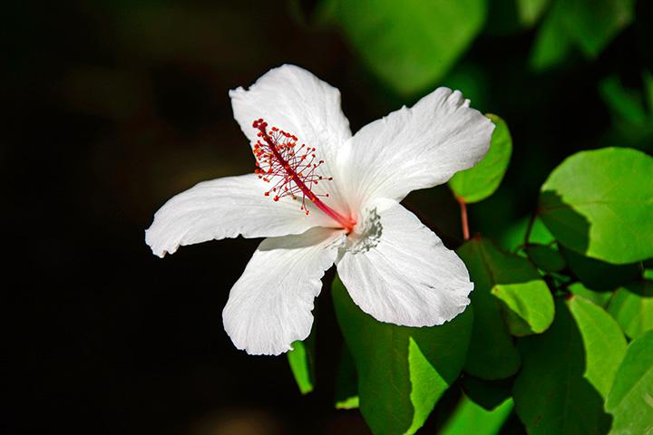 Hibiscus - White Hibiscus