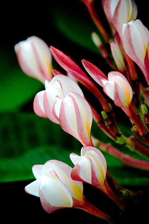 Plumeria - Island Pearls