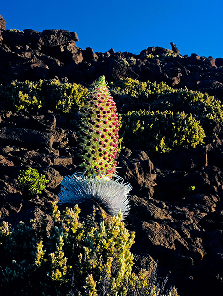 Silversword  (PICT0077)