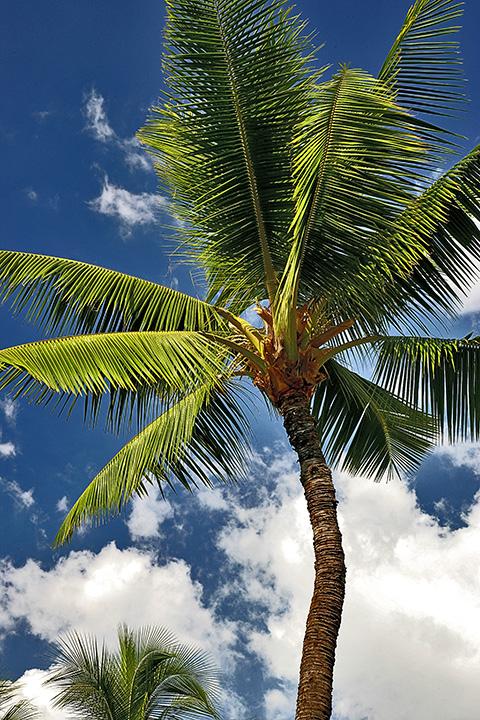 Palm tree - Lahaina Palm