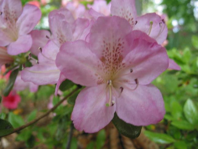 Nuccios Lilac Lady