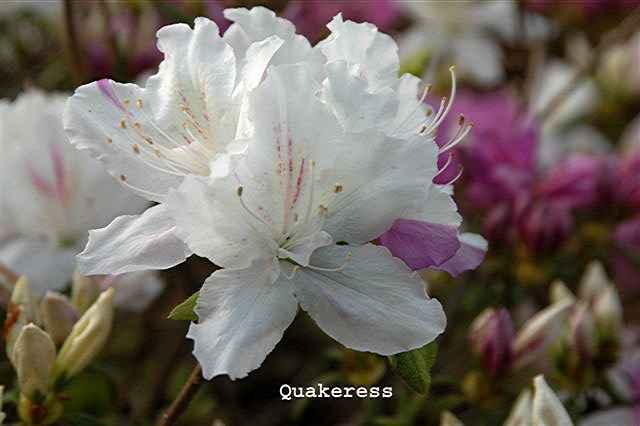 Quakeress