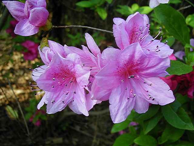 Linwood Lilac