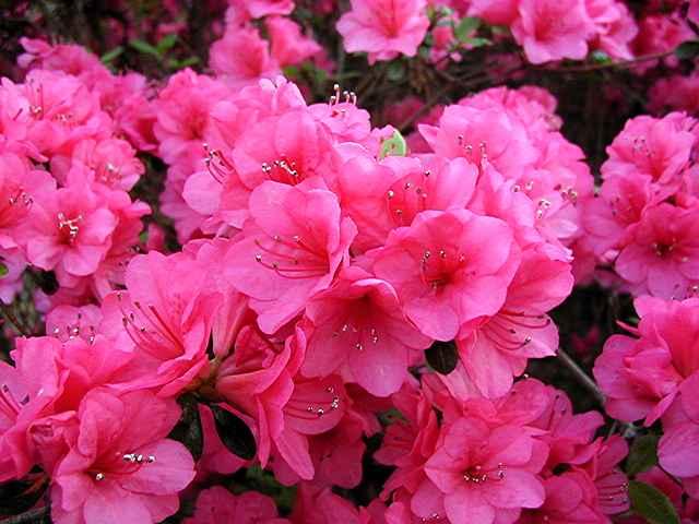 Linwood Pink No. 2