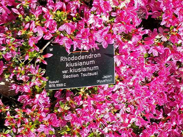 <i>kiusianum</i>