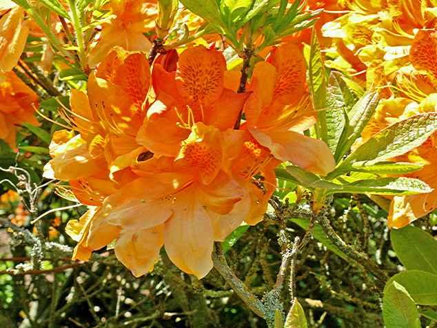 Sunte Nectarine